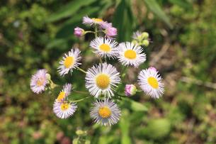 ハルジオン 花の写真素材 [FYI04046420]