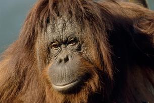 オランウータンの顔の写真素材 [FYI04046471]