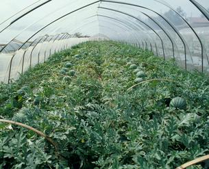 スイカ栽培の温室の写真素材 [FYI04046499]