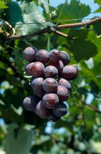 ブドウ 品種:巨峰の写真素材 [FYI04046506]