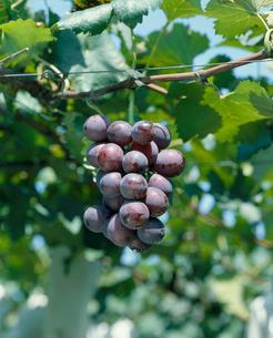ブドウ 品種:巨峰の写真素材 [FYI04046514]