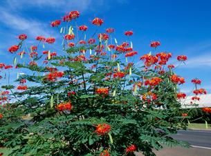 オオゴチョウ 花の写真素材 [FYI04046522]
