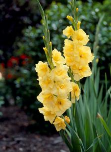 グラジオラス 花の写真素材 [FYI04046524]