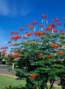 オオゴチョウ 花の写真素材 [FYI04046531]