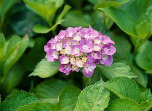 アジサイ 花の写真素材 [FYI04046535]