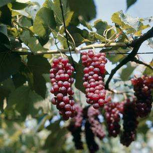 ブドウ 品種:デラウェアの写真素材 [FYI04046539]