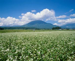 ソバ畑と黒姫山の写真素材 [FYI04046554]