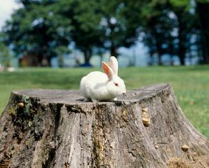 カイウサギ 品種:日本白色種の写真素材 [FYI04046570]