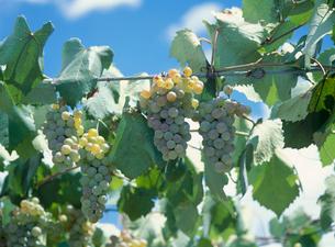 ブドウ 品種:甲州の写真素材 [FYI04046572]