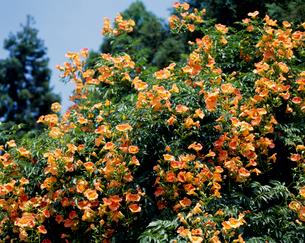 ノウゼンカズラの花の写真素材 [FYI04046607]