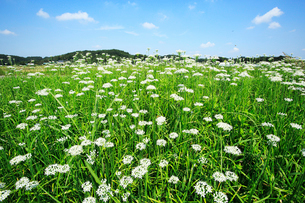 ニラの花の写真素材 [FYI04046633]