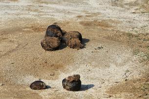 アジアゾウの糞の写真素材 [FYI04046643]