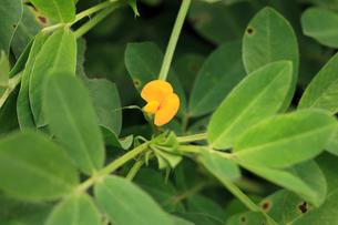 ラッカセイの花の写真素材 [FYI04046649]