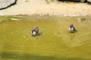 スズメの水浴びの写真素材 [FYI04046665]