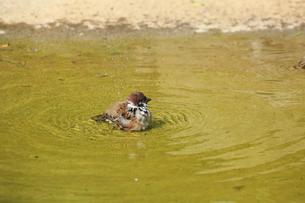 スズメの水浴びの写真素材 [FYI04046670]
