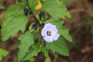 クロホオズキの花の写真素材 [FYI04046693]