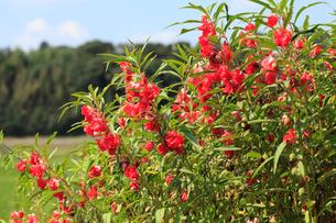 ホウセンカの花の写真素材 [FYI04046695]