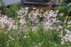シオンの花の写真素材 [FYI04046700]