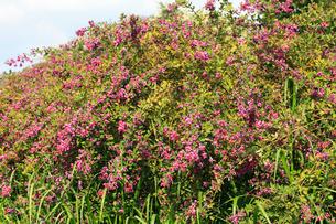 ミヤギノハギの花の写真素材 [FYI04046701]