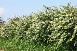 シロバナハギの花の写真素材 [FYI04046702]
