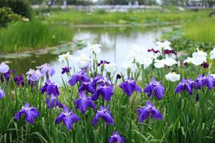 佐原水生植物園のハナショウブの写真素材 [FYI04046706]