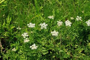 セリの花の写真素材 [FYI04046719]