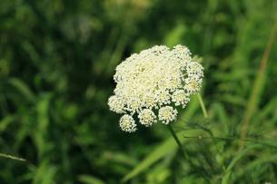 ニンジンの花の写真素材 [FYI04046722]