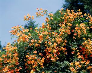 ノウゼンカズラの花の写真素材 [FYI04046727]
