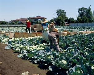 キャベツの収穫の写真素材 [FYI04046739]