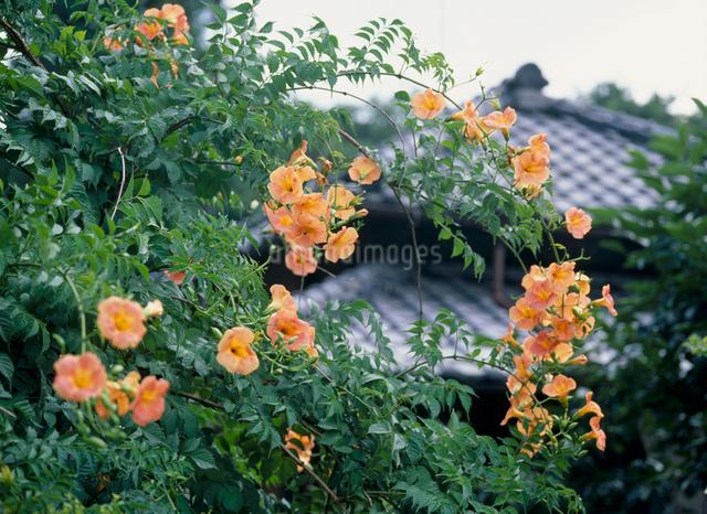 ノウゼンカズラの花の写真素材 [FYI04046752]