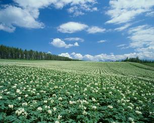 ジャガイモ畑の写真素材 [FYI04046770]