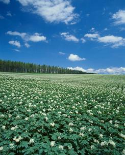 ジャガイモ畑の写真素材 [FYI04046772]