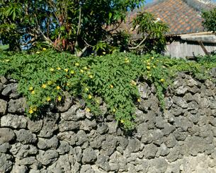 ニガウリの花の写真素材 [FYI04046775]