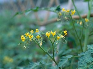 ミニトマトの花の写真素材 [FYI04046778]