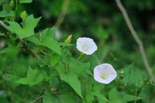 ヒルガオの花の写真素材 [FYI04046785]