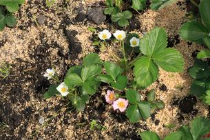 イチゴの花の写真素材 [FYI04046805]