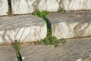 石の隙間から生えるシロツメクサとヨモギの写真素材 [FYI04046818]