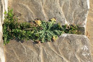 コンクリートの間から生えるノゲシの写真素材 [FYI04046821]