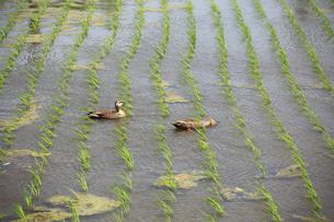 水田のカルガモ 有機農法の写真素材 [FYI04046827]