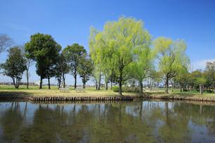 新緑のヤナギの木の写真素材 [FYI04046834]