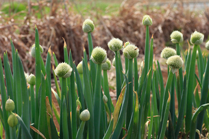 ネギの花の写真素材 [FYI04046842]