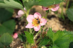 イチゴの花(アカバナ種)とハチの写真素材 [FYI04046844]
