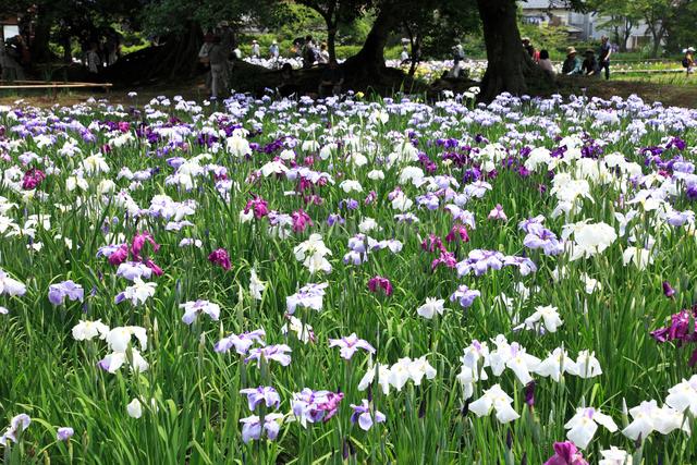 花ショウブ園 の写真素材 [FYI04046856]
