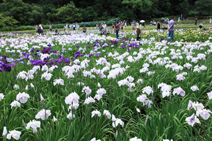 花ショウブ園 の写真素材 [FYI04046857]