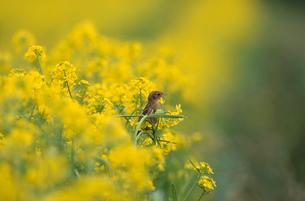 ノビタキの幼鳥の写真素材 [FYI04046873]