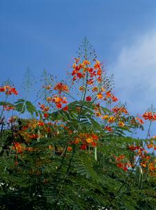 オオゴチョウの花 夏の写真素材 [FYI04046875]