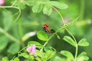 翅を開くナナホシテントウ の写真素材 [FYI04046909]