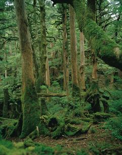 苔むしたヤクスギの森の写真素材 [FYI04046929]