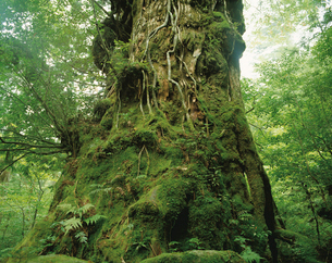 翁杉(ヤクスギ)の写真素材 [FYI04046930]