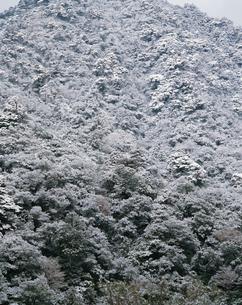 ヤクスギ、ツガ、ヒメシャラ、ヤマグルマ等の混合林の写真素材 [FYI04046935]